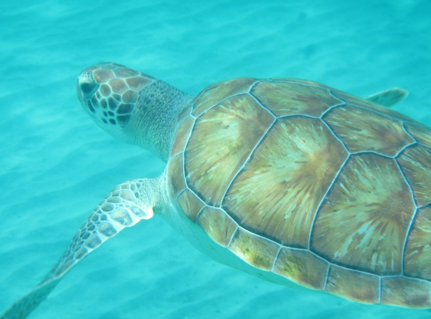 Sea Turtle 2 Curacao