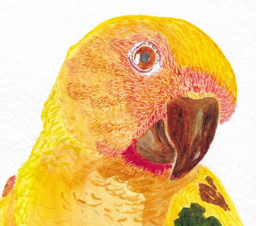 gw blog conure watercolor - crop