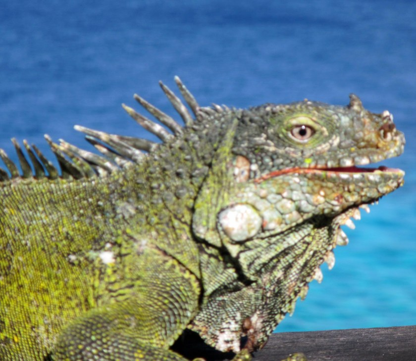 gw blog curacao iguana 2