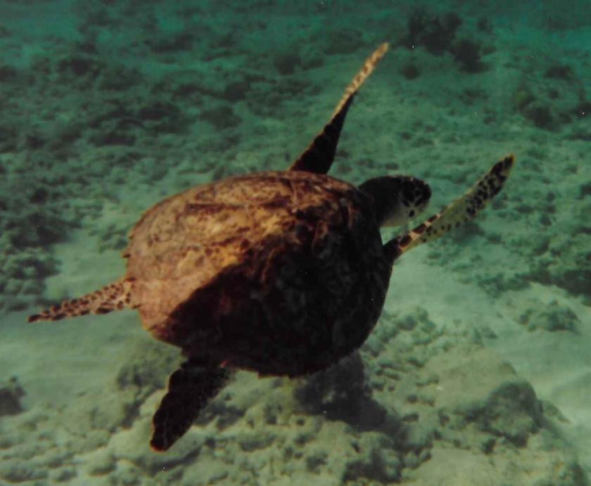 gw blog grand cayman turtle
