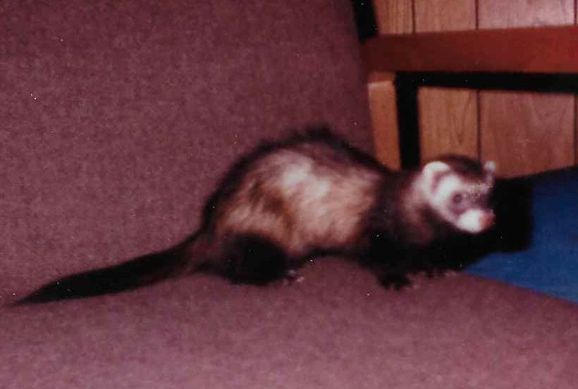 gw blog rabies ferret - crop