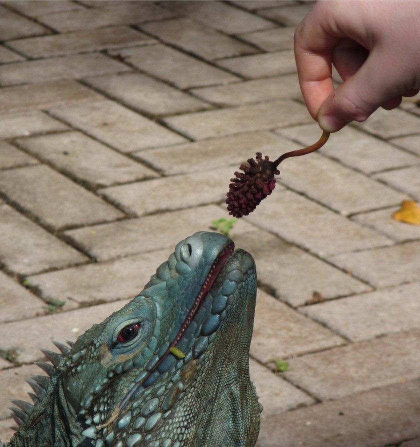gw blog someone feeding the iguana - crop