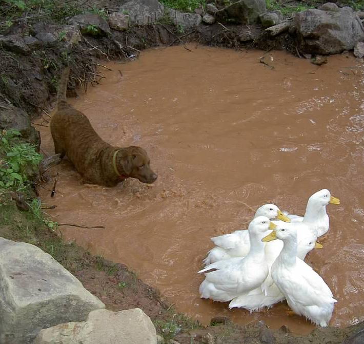 GW Blog Bay Herding White Ducks - Crop