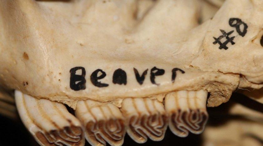 GW Blog Beaver N8 Ink