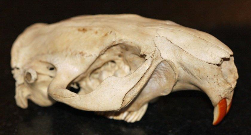 GW Blog Beaver Skull N8