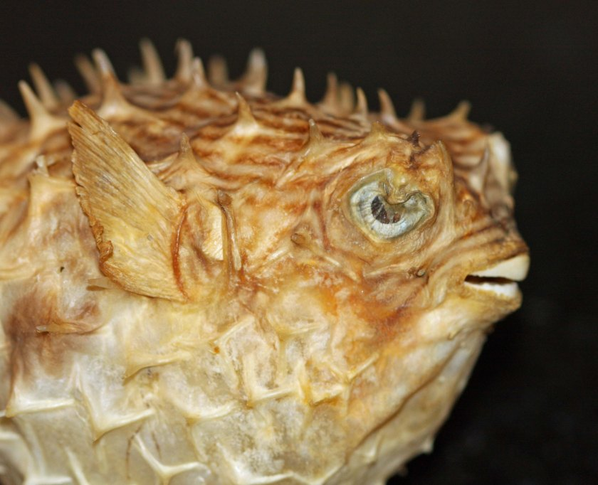 GW Blog Dads Puffer Fish