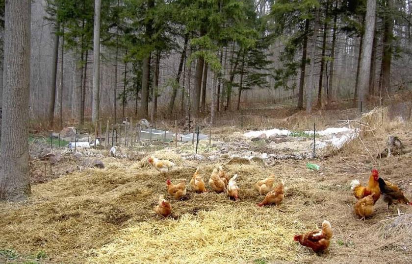 GW Blog Gardening Forest Garden W Chickens - Crop