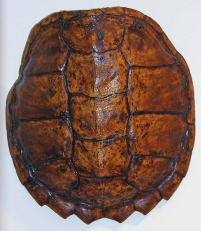 GW Blog Turtle Soup Top Shell