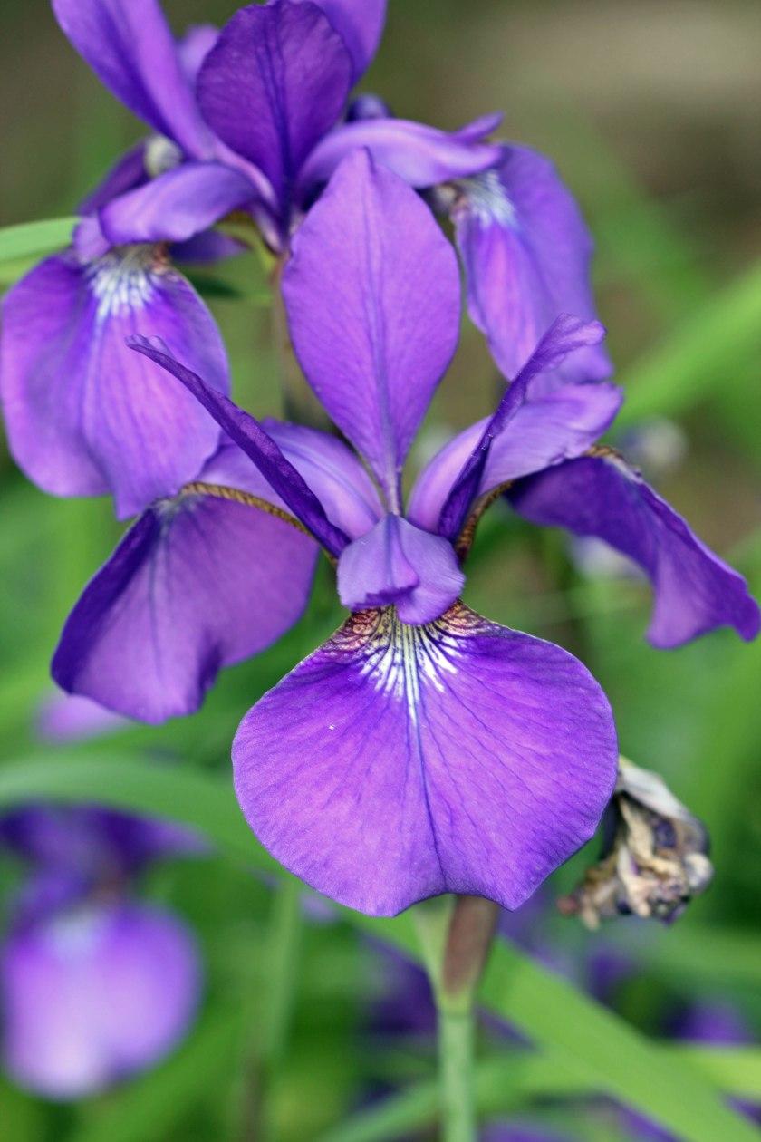 1574 Dutch Iris